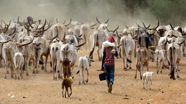 Cowherds with white cows along the road in Senegal thumbnail