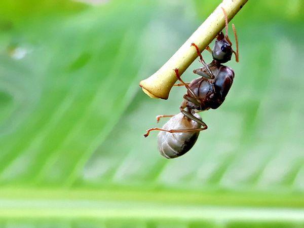 Queen Weaver Ant thumbnail