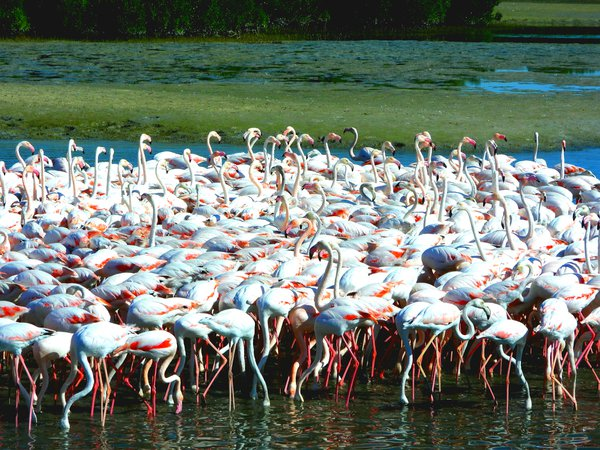 Flamingos in Dubai during feeding time thumbnail