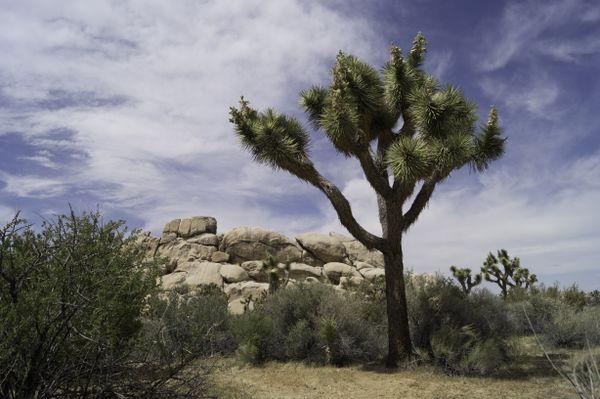 Joshua Tree in Joshua Tree thumbnail