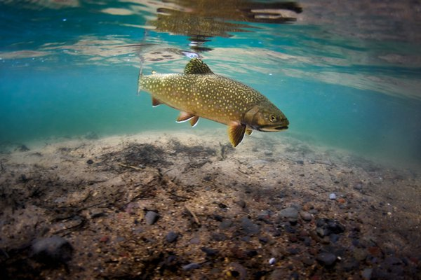 Underwater Brook Trout thumbnail