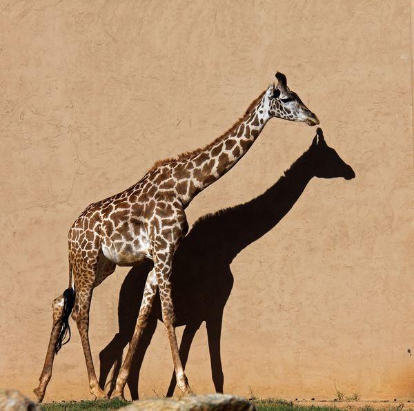 A Beautiful Giraffe and Her Shadow thumbnail