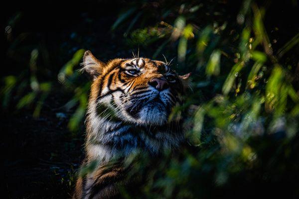 Sumatran shadow thumbnail