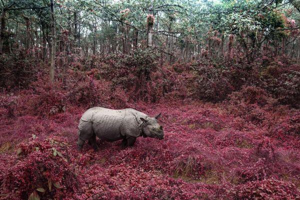Rhino From Chitwan thumbnail