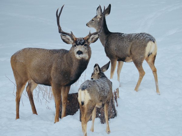 Mule deer family in the snow. thumbnail
