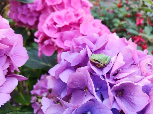 A Pacific Tree frog on a hydrangea in northwest Washington state thumbnail