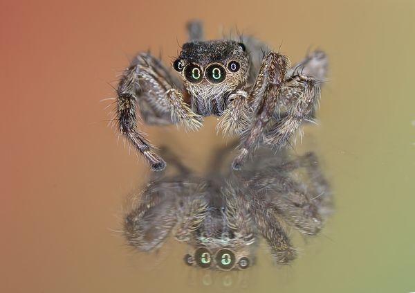 Jumping Spider thumbnail