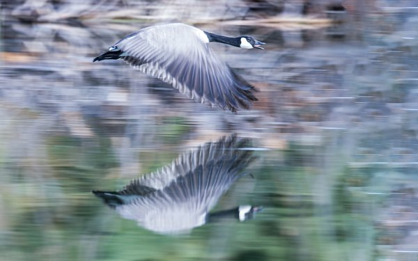 Ghostly goose reflections thumbnail