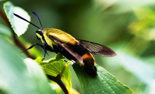Snowberry clearwing moth (Hemaris diffinis) or hummingbird moth thumbnail