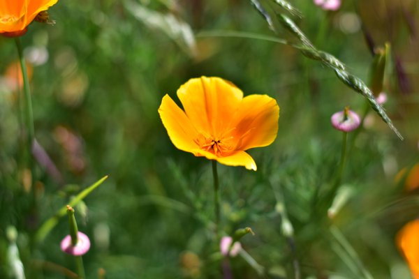 California Poppies in bloom thumbnail