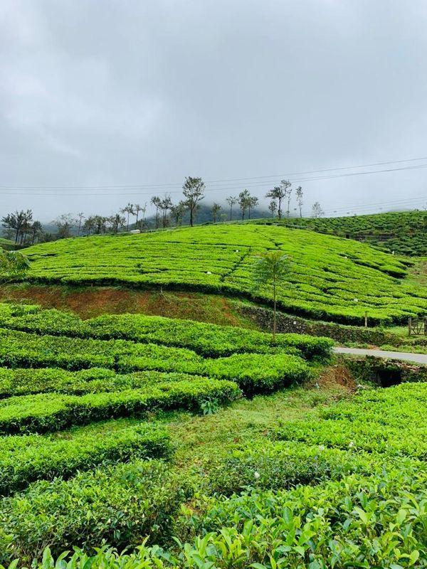 Tea garden thumbnail