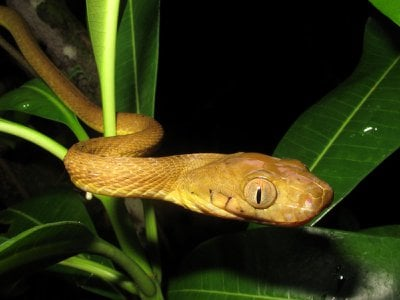 The brown tree snake slithers through vegetation.