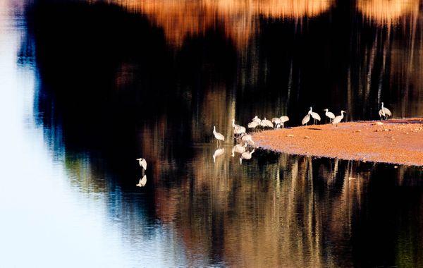 Sandhill Cranes at Hiwassee Reserve thumbnail
