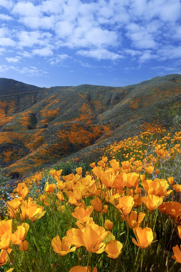 Poppy super bloom in California thumbnail