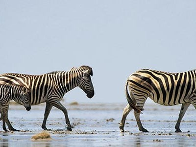 The Makgadikgadi Pans National Park is part of a rare African open wild land. The environment is so harsh that zebras have to cover a lot of ground to survive.