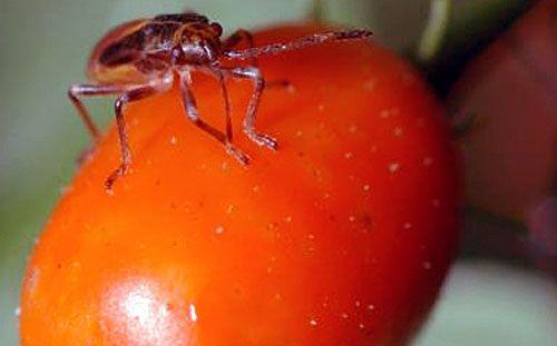 chili_bug.jpg