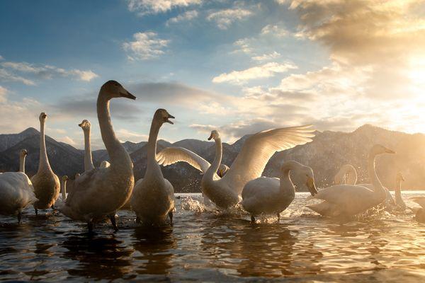 Whopper Swans in Hokkaido thumbnail