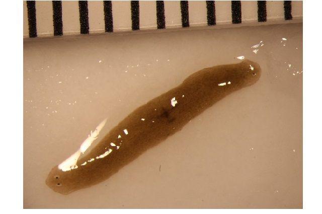 Flatworm Fragment