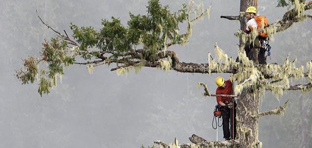Climbers ascend National Champion Douglas fir