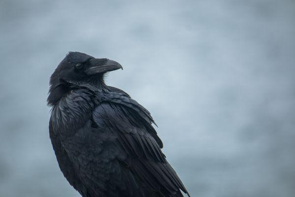 Raven thumbnail