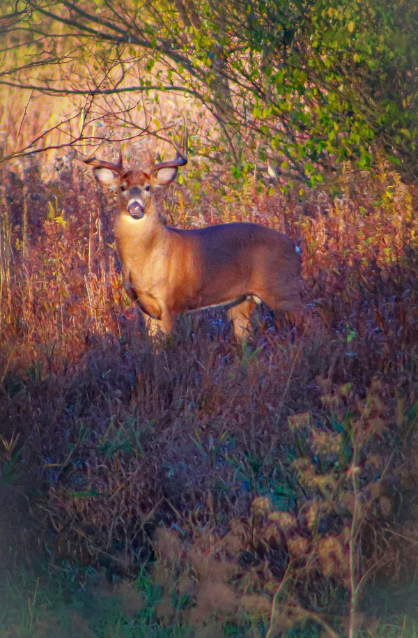 A Buck in the morning light thumbnail