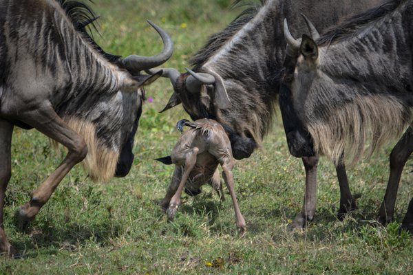 A Wildebeest's First Steps - The Great Migration thumbnail
