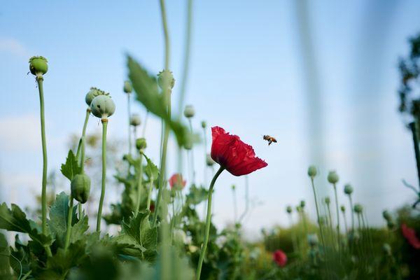 A honey bee with poppy thumbnail