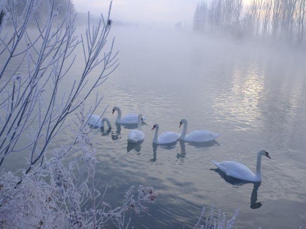 Swan Lake in Winter thumbnail