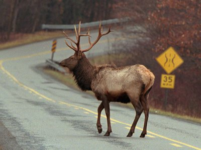 There's no rumor to the fact that a large elk population calls the north central Pennsylvania town of Dents Run home.