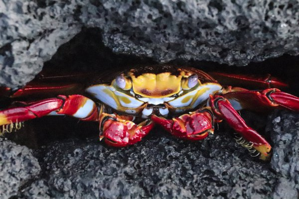 Crab in hiding  thumbnail
