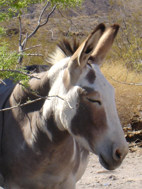Wild burro in Oatman, Arizona thumbnail
