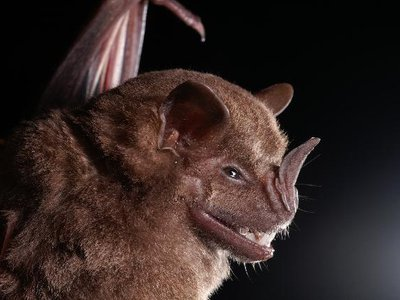 A Jamaican fruit bat (Artibeus jamaicensis), one of the species that contributed to the guano researchers used to study the climates of the past.