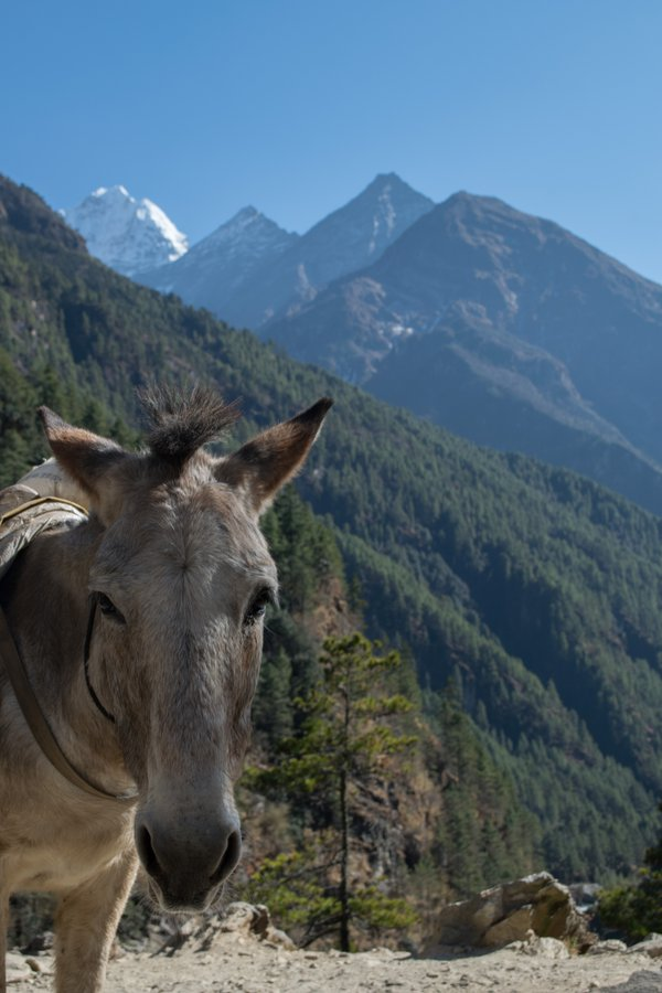 A mule on the Everest Basecamp trek  thumbnail