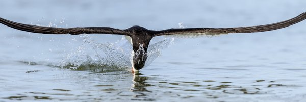 Black Skimmer skimming for a fish thumbnail