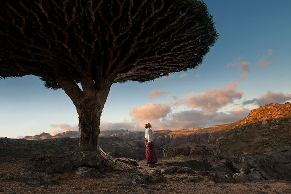 The Socotra famous dragon blood tree. thumbnail