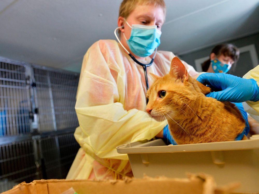 A veterinarian treats a cat