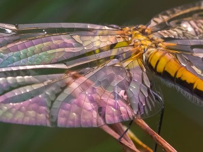 Dragonfly wings have a complex, rigid surface that is maintained by a network of veins. The subtle colors of this immature Black Meadowhawk are caused by sunlight reflecting off the not-quite transparent wings.