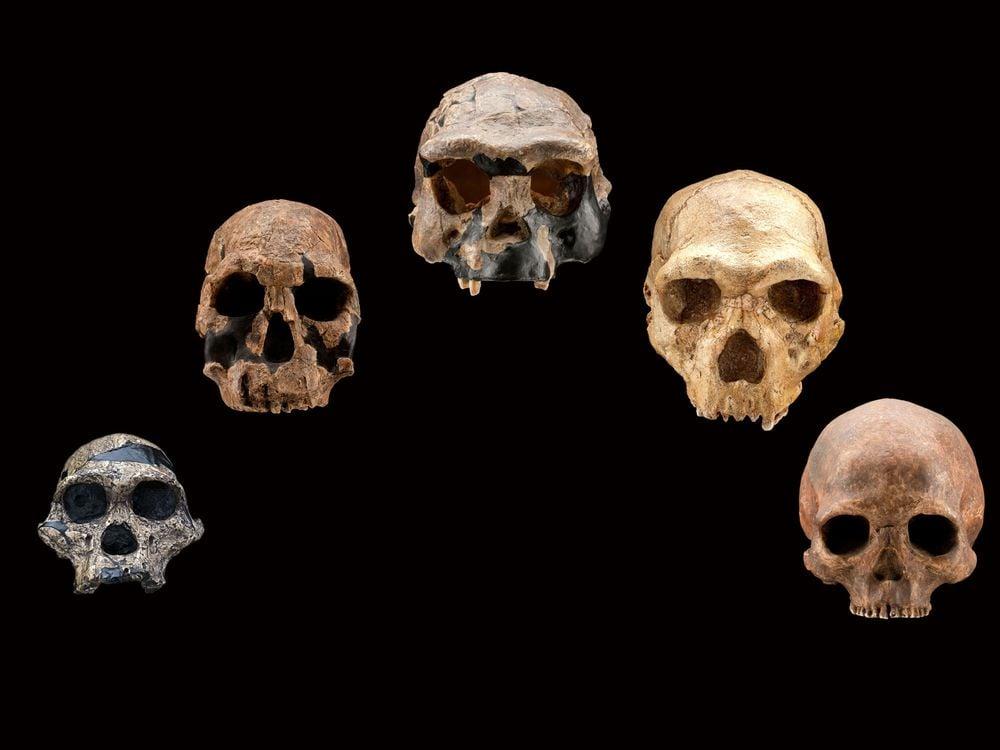 Human Species Skulls