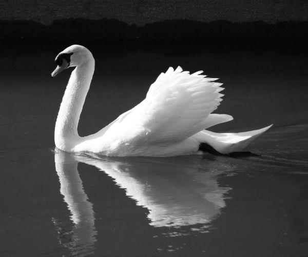 Norbert, the mute swan. thumbnail