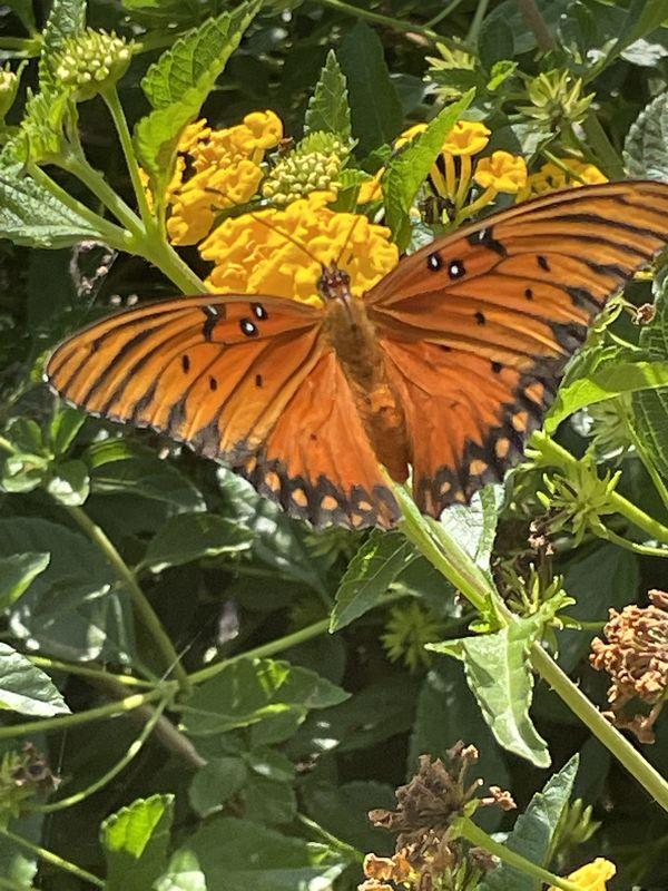 Gulf Fritillary Butterfly thumbnail