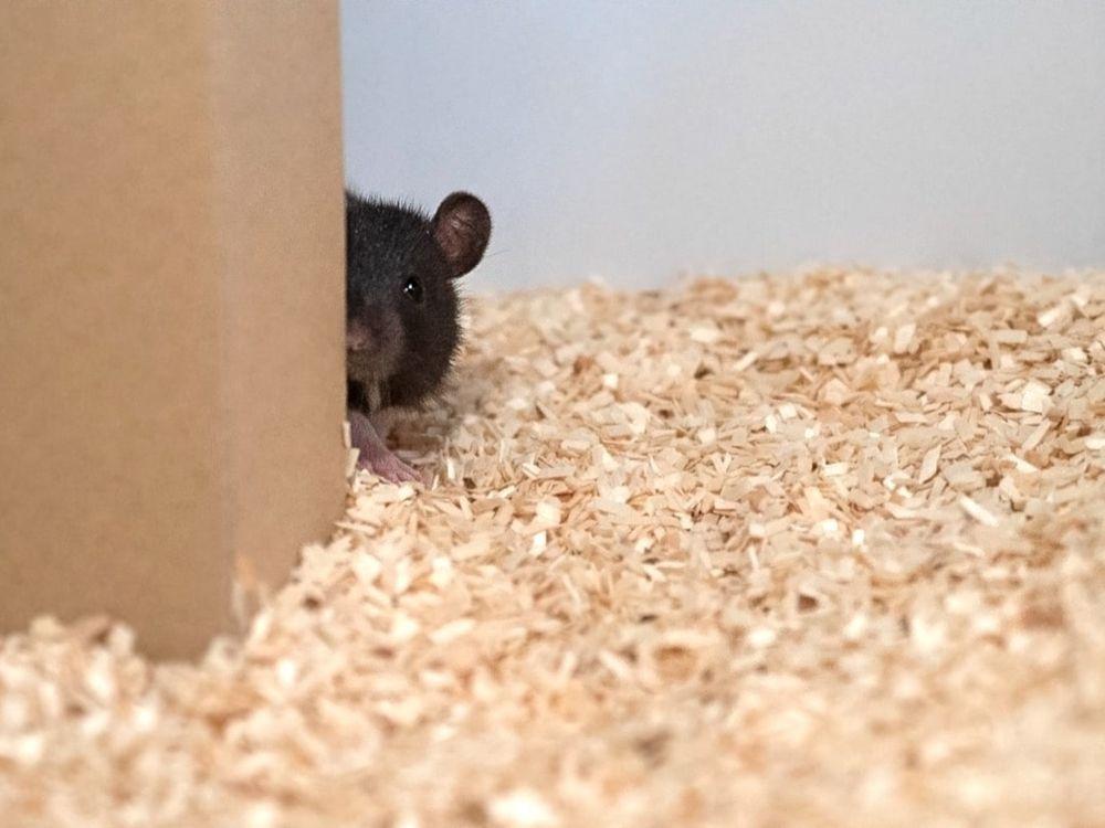 Hide and Seek Rat