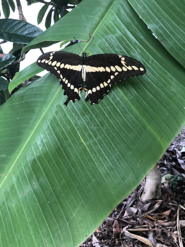 Giant Swallowtail at rest on banana leaf  thumbnail