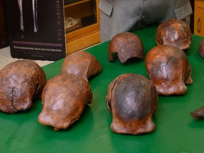 Several Homo erectus skulls were recently identified as the youngest known fossils of the species, some 108,000 to 117,000 years old. These fossil replicas are housed at the University of Iowa.