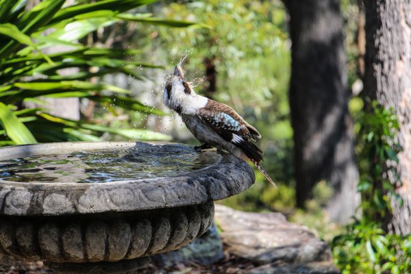 Kookaburra having a swim thumbnail