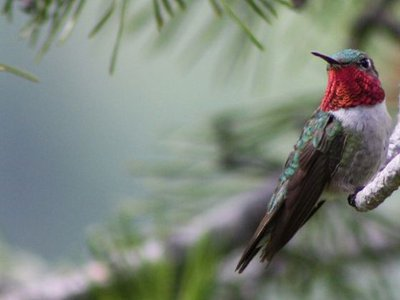 The broad-tailed hummingbird uses its fiery throat feathers, called a gorget, to attract a mate.