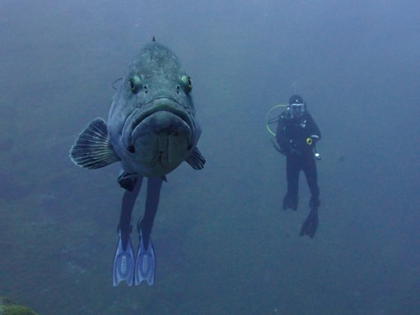 Unusual dive buddy in the Azores thumbnail
