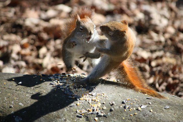 Red Squirrels Fighting thumbnail