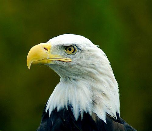 20110520083141bald-eagle-flickr.jpg