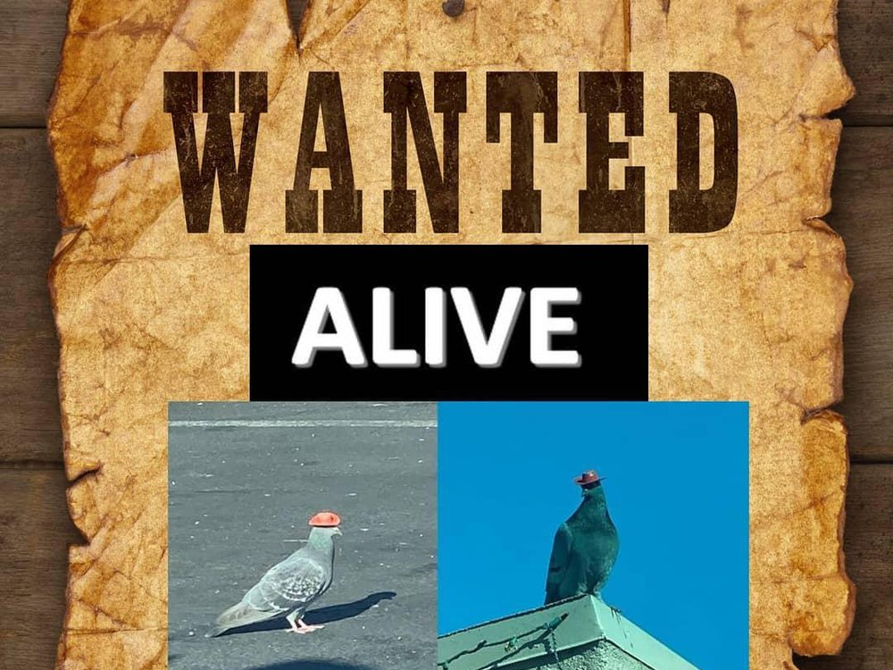Pigeon Wanted Poster