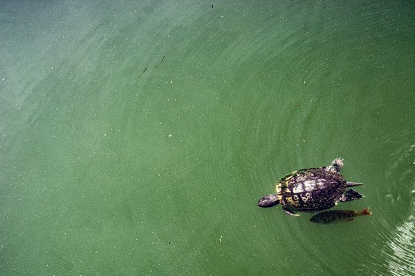 A turtle and shell-cleaning fish swim with two minnows thumbnail